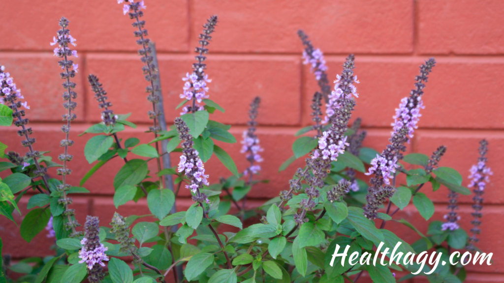 Holy basil is about two or three feet tall and has hairy stems with toothed-edged, green leaves and purple flowers.